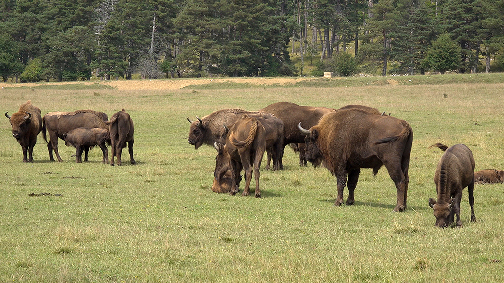 bisons europe reserve animaliere monts d azur thorenc